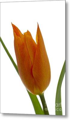 Tulip -1 Metal Print