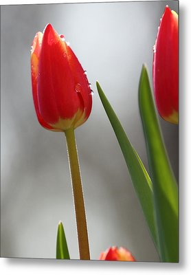 Metal Print featuring the photograph Tulip Sparkle by Coby Cooper
