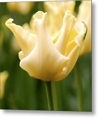 Tulip (tulipa 'yellow Crown') Metal Print