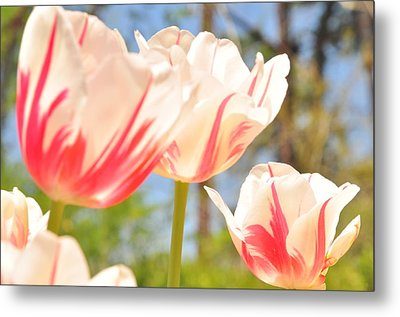 Metal Print featuring the photograph Tulips by Helen Haw