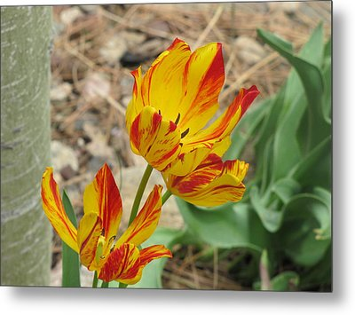 Metal Print featuring the photograph Tulips In Aspen by Shawn Hughes