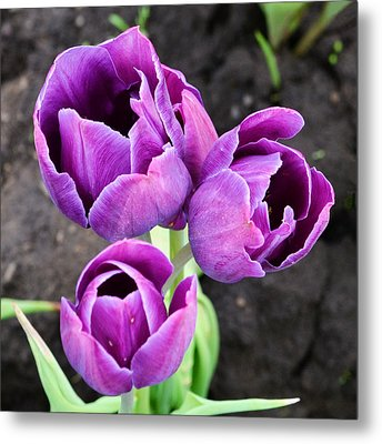 Tulips Queen Of The Night Metal Print by Ansel Price