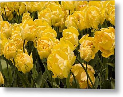 Tulips (tulipa 'akebono') Metal Print