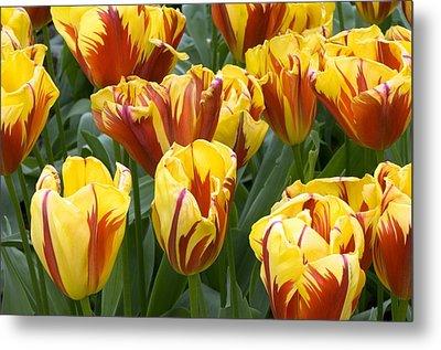 Tulips (tulipa 'holland Queen') Metal Print
