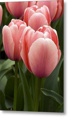 Tulips (tulipa 'salmon Impression') Metal Print