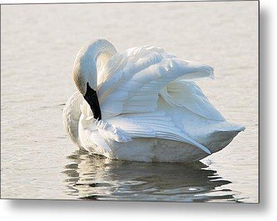 Tumpeter Swan Metal Print by Larry Ricker