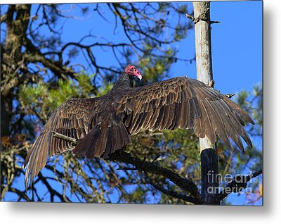 Turkey Vulture With Wings Spread Metal Print by Sharon Talson