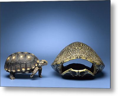 Turtle Looking At Larger, Empty Shell Metal Print by Jeffrey Hamilton