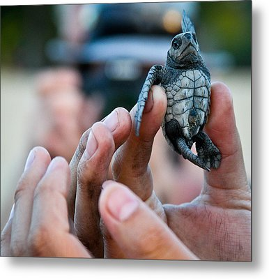 Turtle Release In San Pancho Metal Print by Atom Crawford