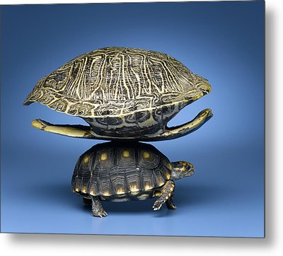 Turtle With Larger Shell On Back Metal Print by Jeffrey Hamilton