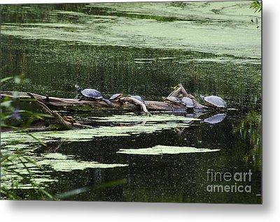 Turtles On Log Scarboro Pond#1  Metal Print by Gordon Gaul