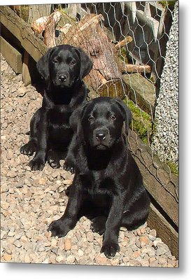 Metal Print featuring the photograph Twin Black Labrador Puppies by Richard James Digance