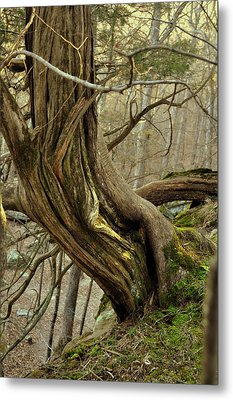 Twisted Cedar Metal Print by Marty Koch