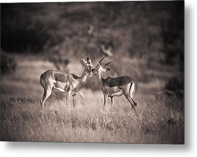 Two Antelopes Together In A Field Metal Print by David DuChemin