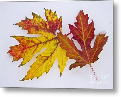 Two Autumn Maple Leaves  Metal Print by James BO  Insogna