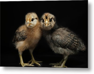 Two Baby Chicks Metal Print by Monica Fecke