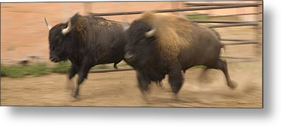 Two Bison Race Each Other Metal Print by Ralph Lee Hopkins