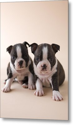 Two Boston Terrier Puppies Metal Print by Mixa
