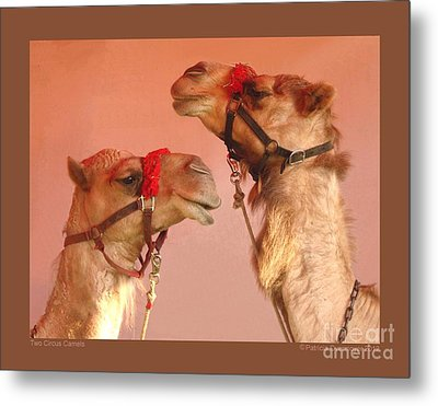Two Circus Camels Metal Print by Patricia Overmoyer