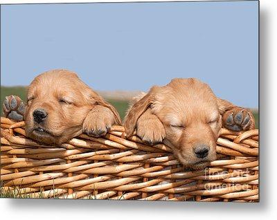 Two Cute Puppies Asleep In Basket Metal Print by Cindy Singleton