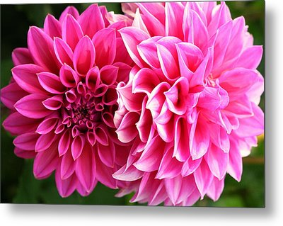 Metal Print featuring the photograph Two Dahlias In Shades Of Pink by Laurel Talabere