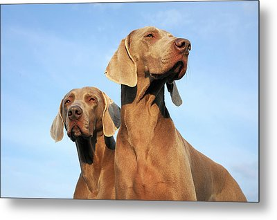 Two Dogs, Weimaraner Metal Print by Werner Schnell