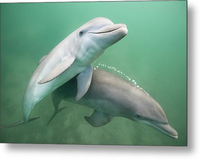Two Dolphins Underwater. Metal Print
