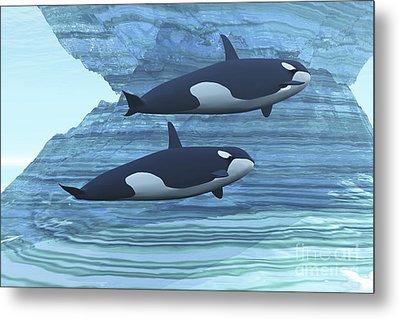 Two Killer Whales Swim Around Submerged Metal Print