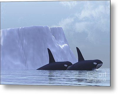Two Killer Whales Swim Near An Iceberg Metal Print