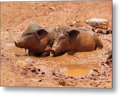 Metal Print featuring the photograph Two Pigs In A Puddle by Nola Lee Kelsey