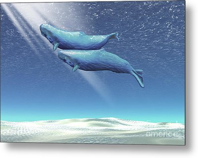 Two Sperm Whales Near The Surface Metal Print by Corey Ford
