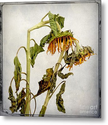 Two Sunflowers Metal Print by Bernard Jaubert