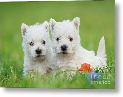 Two West Highland White Terrier Puppies Portrait Metal Print by Waldek Dabrowski