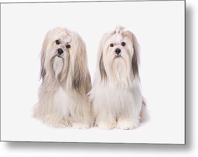 Two White Lhasa Apso Puppies St. Albert Metal Print by Corey Hochachka