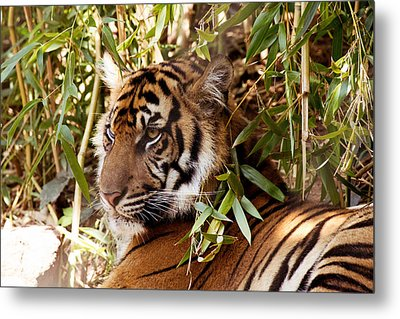 Under The Watchful Eye Of The Tiger Metal Print
