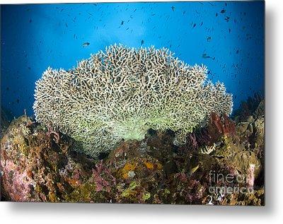 Underside Of A Table Coral, Papua New Metal Print by Steve Jones
