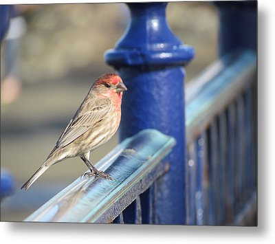 Urban Sparrow Metal Print
