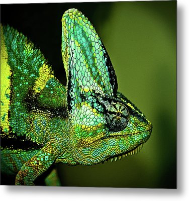 Veiled Chameleon Metal Print by Copyright By D.teil