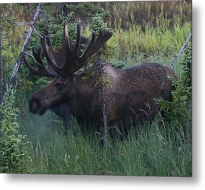 Metal Print featuring the photograph Velvet by Doug Lloyd