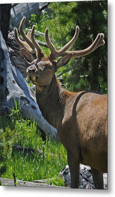 Velvet Prince Metal Print by Jonathan Whichard