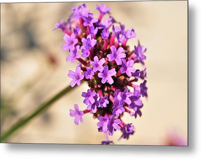 Metal Print featuring the photograph Verbena  by Puzzles Shum