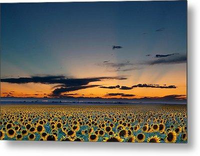 Vibrant Sunflower Field In Colorado Metal Print by Victoria Chen