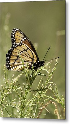 Metal Print featuring the photograph Viceroy Butterfly by Betty Depee