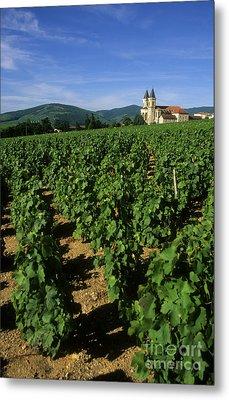 Vineyard. Regnie-durette. Beaujolais Wine Growing Area. Departement Rhone. Region Rhone-alpes. Franc Metal Print by Bernard Jaubert