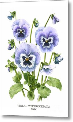Viola Pansies Metal Print by Artellus Artworks