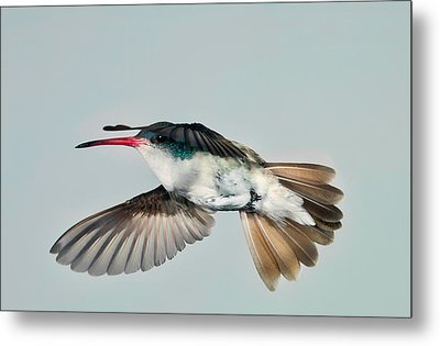 Metal Print featuring the photograph Violet Crowned Hummingbird In Level Flight by Gregory Scott