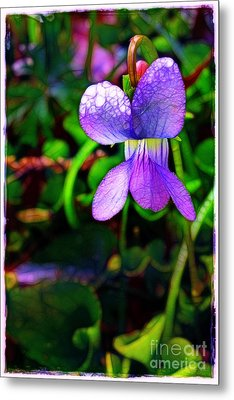 Violet With Dew Metal Print by Judi Bagwell