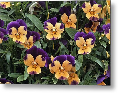 Violets Metal Print by Archie Young