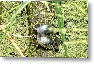 Metal Print featuring the photograph Virginia Swamp Turtles by Rob Green