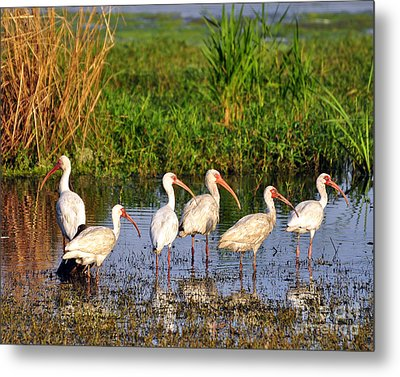 Wading Ibises Metal Print by Al Powell Photography USA